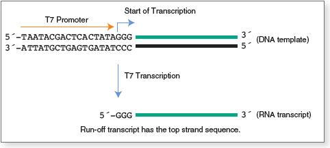 Figure 1. Transcription by T7 RNA Polymerase
