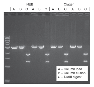 Monarch PCR & DNA Cleanup Kit (5 μg) performs equivalently to the leading supplier. Preps were performed according to recommended protocols. 1 μg of a 3 kb DNA fragment was incubated with 1 μM primers and OneTaq® Quick-Load® 2X Master Mix (NEB #M0486). DNA was eluted in 20 μl (NEB) and 40 μl (Qiagen) Elution Buffer. Half of the total elution volume was digested with 5 units of DraIII-HF® (NEB #R3510). The digest and the unused portion of the elution were resolved on a 1% w/v agarose gel along with a representative sample of the starting material.