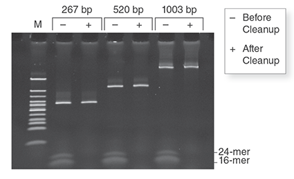Monarch PCR & DNA Cleanup Kit (5 μg) removes low molecular weight primers from dsDNA samples. Three independent amplicons (267 bp, 520 bp, 1003 bp) were spiked with two oligonucleotides (16-mer, 24-mer) to a final concentration of 1 μM. Half of each mix was purified with the Monarch PCR & DNA Cleanup Kit (5 μg) following the included protocol. Equivalent fractions of the original mixture and the eluted material were resolved on a 20% TBE acrylamide gel at 100V for one hour and stained with SYBR Green II.