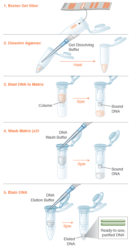 Monarch DNA Gel Extraction Kit Protocol